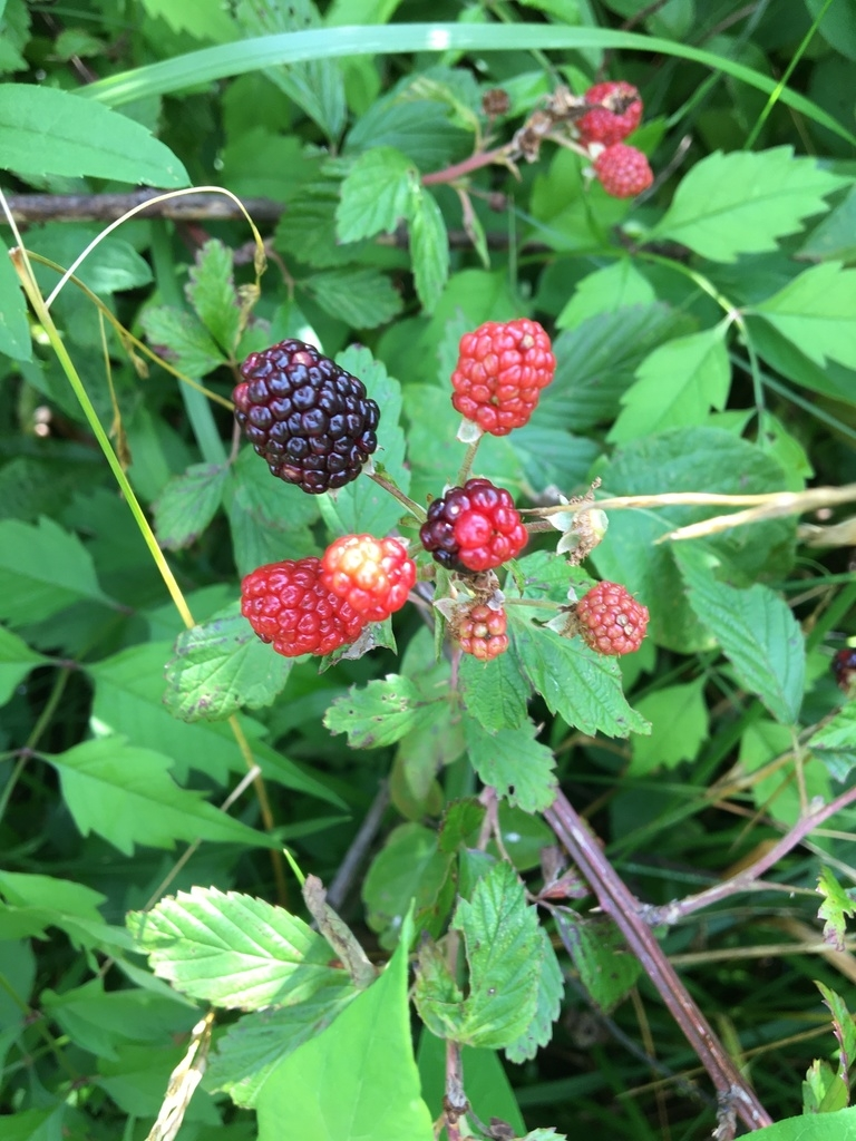 Blackberry picking at Taylor Fork Ecologial Area