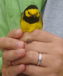 Bird banded during LCW Field Camp